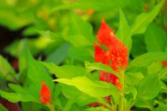 Orange plumed cockscomb flower or Celosia argentea beautiful in the garden.  Royalty Free Stock Photo