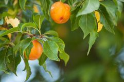 Orange plums in tree in a orchard. Closeup of orange plums in tree in a orchard stock photo