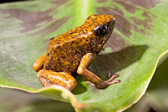 Orange poison dart frog stock images