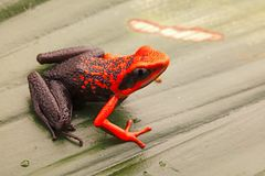 Orange poison dart frog, Ameerega silverstonei stock photo