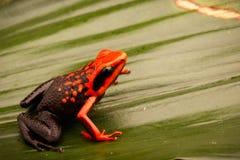 Orange poison dart frog, Ameerega silverstonei. A tropical rain forest animal from the Amazon jungle in Peru stock image