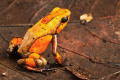 Orange poison dart frog Oophaga histrionica from the tropical rain forest of Colombia royalty free stock photo