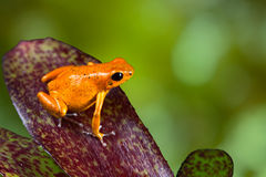 Orange poison dart frog poison dart frog on leaf Royalty Free Stock Photos