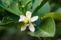 orange pollinera fjäder för blomningblomma Royaltyfri Bild