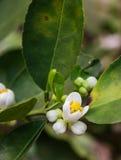 orange pollinera fjäder för blomningblomma Royaltyfri Fotografi
