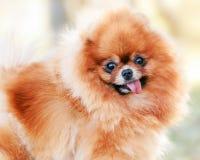 Free Orange Pomeranian Dog Portrait Royalty Free Stock Photography - 130392767