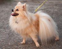 Orange Pomeranian på koppeln för en gå Royaltyfri Bild