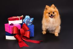 Orange pomeranian spitz and gift boxes. Beautiful pomeranian dog and boxes with present, studio shot. New Year and Christmas concept royalty free stock image