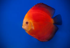 red discus Stock Photo