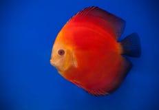 Orange pompadour Stock Photo