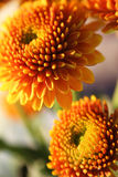 Orange Pompon Chrysanthemums Stock Photos