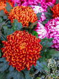 Orange pompon chrysanthemums Royalty Free Stock Photography