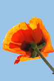 Orange Poppie Royalty Free Stock Photo