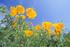 Orange Poppies Stock Photos