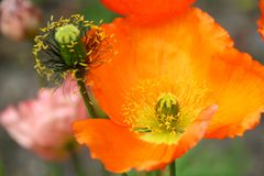 Orange poppies. Close up of beautiful orange poppies Royalty Free Stock Photos