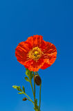 Orange poppies against blue sky Stock Photography