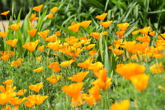 Orange Poppies Stock Photography