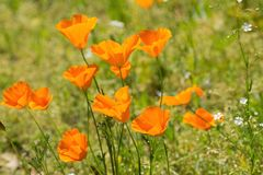 Orange poppies at close range in dark green background Royalty Free Stock Photos