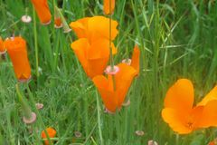 Orange poppies. Close up of orange Poppies in grass colorful Stock Image