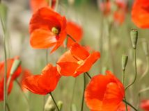 Orange Poppies. Closeup of orange poppies in a field Stock Image