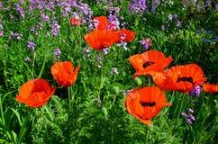 Orange poppies Royalty Free Stock Image