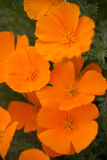 Orange Poppies Field Stock Image