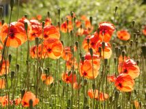 Orange Poppies. In a field Royalty Free Stock Images