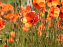 Orange Poppies. A field of orange poppies Royalty Free Stock Photo