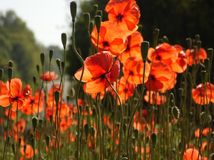 Orange Poppies. A field of orange poppies by the road Royalty Free Stock Photography