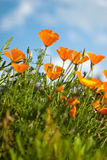 Orange Poppies Field Royalty Free Stock Photos