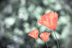 Orange poppies flowers Royalty Free Stock Images
