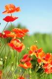 Orange Poppies Stock Image