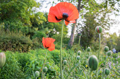 Orange poppies in a park. Stock Images