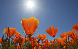 Orange poppies with sun. Antelope Valley, California royalty free stock images