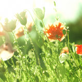 Orange poppies in the sunlight Stock Photography