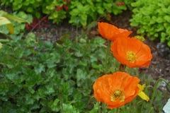Orange poppies Royalty Free Stock Photo