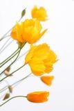 Orange poppies on white Stock Images