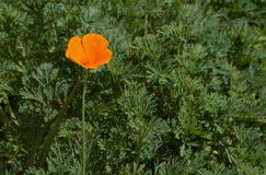 Orange poppy Stock Photo