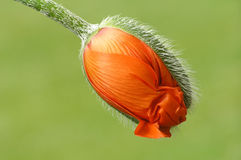 Orange poppy. With green blurred background royalty free stock photos