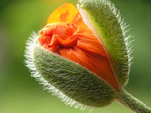 Orange poppy. With blurred background stock images