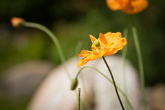 Orange poppy Stock Image