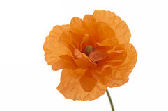 Orange poppy. An orange poppy isolated on a white background Stock Photos