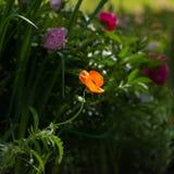 Orange poppy Stock Image