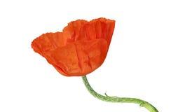 Orange poppy Stock Photos