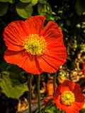 Orange poppy Stock Photos
