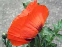 Orange Poppy Close Up Stock Image