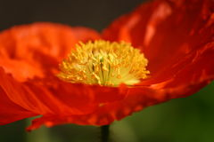 Orange Poppy Detail Stock Photography