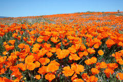 Orange Poppy Field. A gorgeous display of nature's beauty in this image from a Californian Poppy Reserve Royalty Free Stock Image