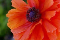 Orange Poppy Flower. Bright Orange Poppy Macro Stock Photo