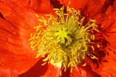 Orange Poppy Flower. Close-up of an Orange poppy in bloom Stock Photos